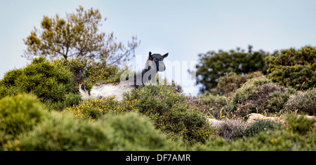 Wild black goat on Crete in Greece - Stock Photo