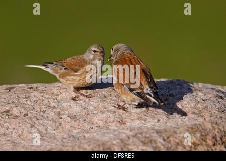 Linnet (Carduelis cannabina) adult feeding juvenile - Stock Photo