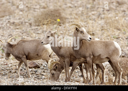Desert bighorn sheep in Death Valley National Park USA- a rare sighting in this park! - Stock Photo