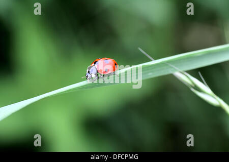 Seven Spot Ladybeetle Coccinella septempunctata on a blade of grass  It has a white collar and two white spots on - Stock Photo