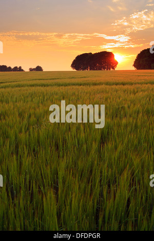 Sunset at Cheesefoot Head on the South Downs with a field of Barley in the foreground. - Stock Photo