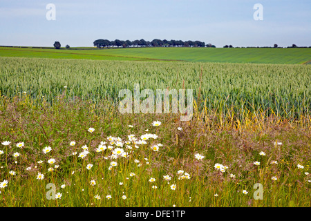 Wild daisies growing on the edge of a wheat field in the South Downs National Park - Stock Photo