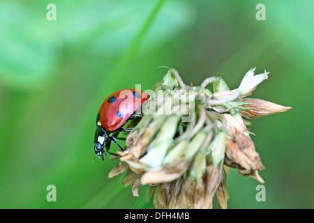 Seven-spotted Ladybird, coccinella septempunctata, on a dead plant head - Stock Photo