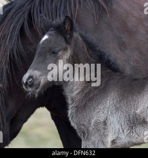 Mare and newborn foal, Iceland. - Stock Photo