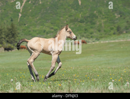 Quarter Horse foal gallops - Stock Photo