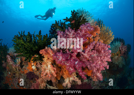 A diver approaches colorful soft corals and crinoids on the reefs of Raja Ampat - Stock Photo