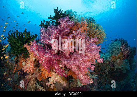 Colorful soft corals (Dendronephthya sp.) adorn the stunning reefs of southern Raja Ampat, West Papua, Indonesia. - Stock Photo