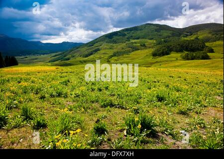 Field of wildflowers in the town of Mt  Crested Butte ski resort, near Crested Butte, Colorado USA - Stock Photo