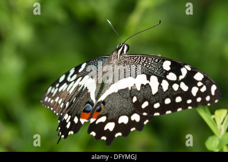 A Citrus Swallowtail butterfly at rest - Stock Photo