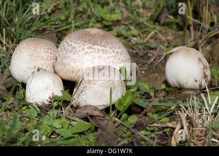 Ripe Field mushroom on the Meadow, Agaricus campestris - Stock Photo