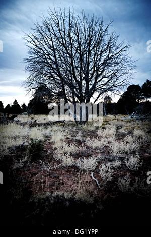Dead Tree in Desert Field, Arizona, USA - Stock Photo