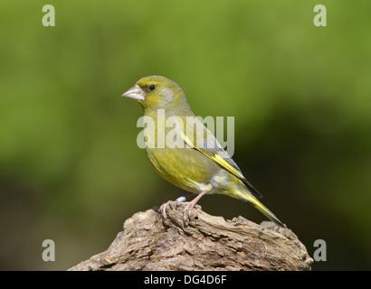 Greenfinch Carduelis chloris - Stock Photo