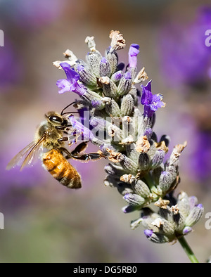 Honeybee On Lavender Flower - Stock Photo