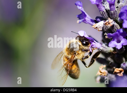 Honeybee Hovering On Lavender Flower - Stock Photo