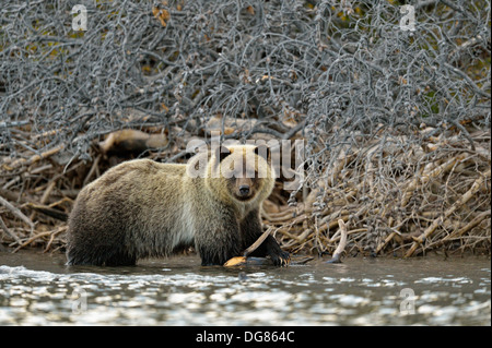 Grizzly bear, Ursus arctos, Feeding on fish during the autumn sockeye salmon spawning season Chilcotin Wilderness - Stock Photo