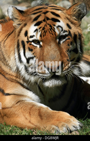 An Amur Tiger also called the Siberian Tiger. Cape May County Zoo, New Jersey, USA - Stock Photo