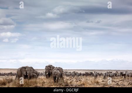 A herd or elephants graze on the open veld - Stock Photo