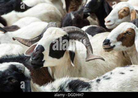 Herding domesticated goats in the rural indian countryside, Andhra Pradesh, India - Stock Photo