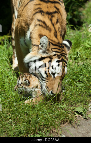 Amur, or Siberian Tigress (Panthera tigris altaica). About to pick up, grasp and carry cub in her mouth. - Stock Photo