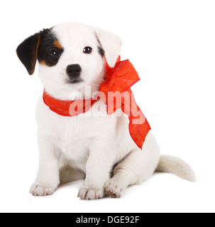 Jack Russell puppy with red cockade on white background - Stock Photo