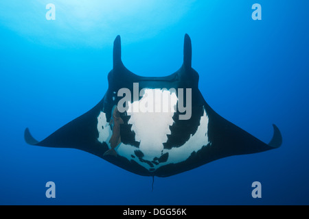 Manta, Manta birostris, Socorro, Revillagigedo Islands, Mexico - Stock Photo