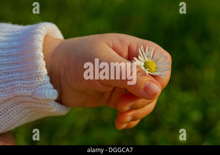 Hand of a five weeks old baby holding a daisy, Germany - Stock Photo