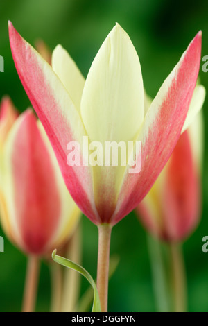 Tulipa clusiana 'Cynthia' AGM Lady tulip Miscellaneous tulip April - Stock Photo