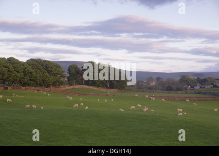 Domestic Sheep ewes with lambs flock grazing in pasture with drystone walls and row of trees at sunset Carperby - Stock Photo