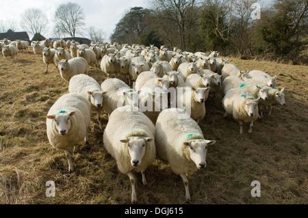 Flock of sheep - Stock Photo