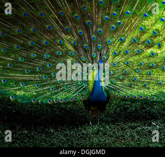 A peacock displaying its plumage. - Stock Photo