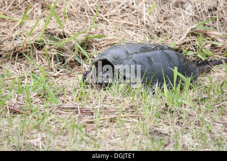 Found in the dry grass near a swampy area. The common snapping turtle is the largest freshwater turtle found in - Stock Photo