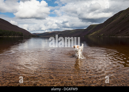 An Irish red and white setter in Loch Muick in Scotland. - Stock Photo