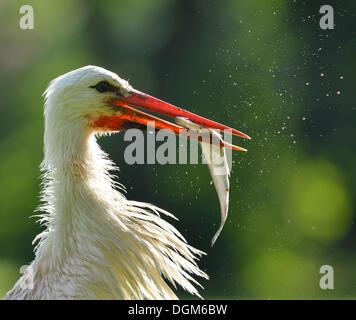 White Stork (Ciconia ciconia) with captured fish in its beak, Stuttgart, Baden-Wuerttemberg - Stock Photo