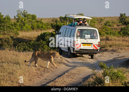 Lion (Panthera leo), lioness walking in front of a safari van, Maasai Mara National Reserve, Kenya, East Africa, - Stock Photo
