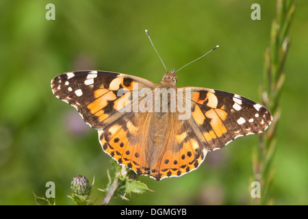 Painted lady, Thistle, Distelfalter, Cynthia cardui, Vanessa cardui - Stock Photo