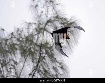 Seychelles fruit bat or Flying fox in flight - Stock Photo