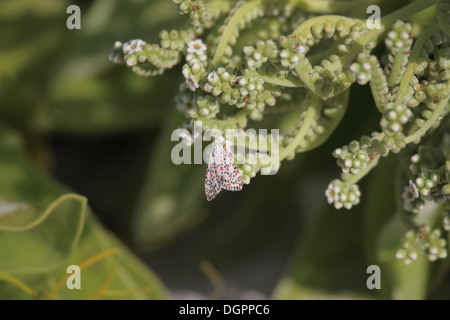 Crimson speckled feeding on coastal shrub in The seychelles - Stock Photo