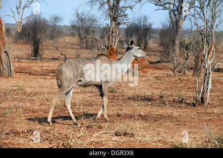 A female Greater  Kudu ( Tragelaphus strepsiceros ), Chobe National park, Botswana, Africa - Stock Photo
