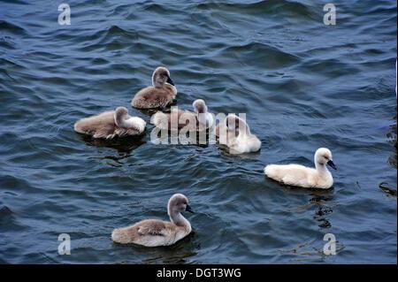 Mute swans (Cygnus olor), cygnets in the harbor, Seestrasse street, port, Stralsund, Mecklenburg-Western Pomerania - Stock Photo
