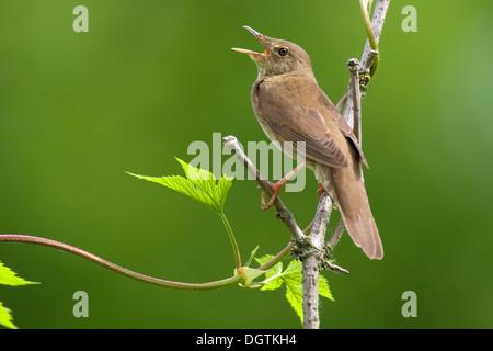 River warbler (Locustella fluviatilis), singing male, Fertő-Hanság National Park, Hungary, Europe - Stock Photo