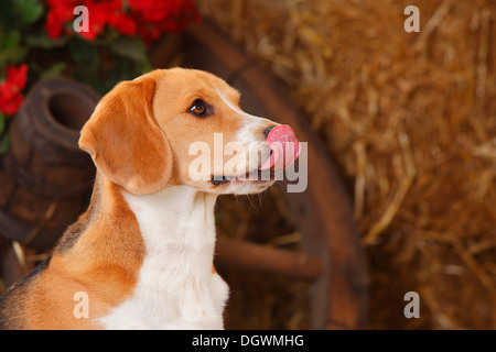 Beagle licking his nose |Beagle, Ruede, leckt sich die Nase - Stock Photo