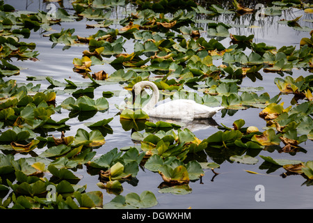 A single swan graces the lily pond in Alaska summertime - Stock Photo