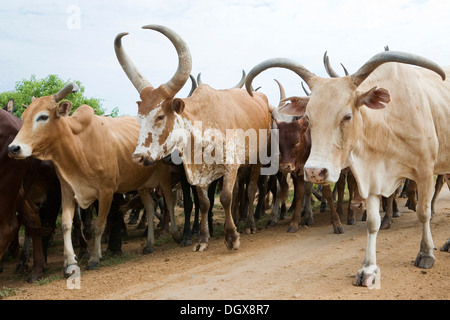 A herd of Watusi cattle walking on a road near Lake Albert, Bugoigo, Uganda, Africa - Stock Photo