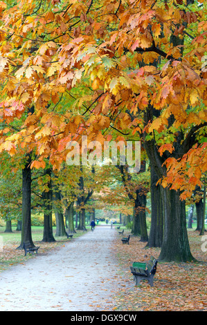 Old colorful red oak oaks alley in autumn Quercus rubra - Stock Photo