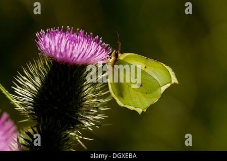 Brimstone butterfly, Gonepteryx rhamni feeding on Spear Thistle flowers. - Stock Photo