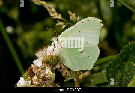 Female Brimstone butterfly, Gonepteryx rhamni feeding on bramble flowers. - Stock Photo