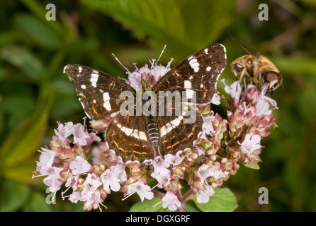 Map Butterfly, Araschnia levana, second generation (known as forma prorsa) feeding on Marjoram. France. - Stock Photo