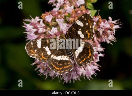 Map Butterfly, Araschnia levana, second generation (forma prorsa) feeding on marjoram - Stock Photo