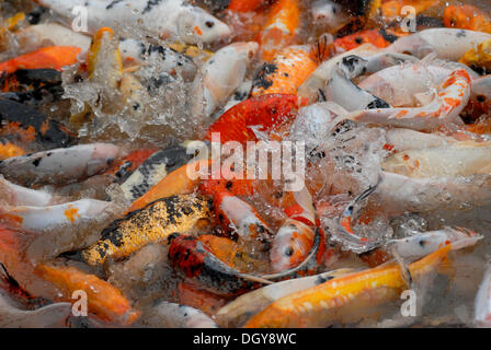 Red, yellow and patterned Goldfish (Carassius auratus auratus) in the Pana-breeding center of Chengdu, Sichuan, - Stock Photo
