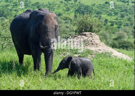 Female African elephant (Loxodonta africana) with baby in Tarangire National Park, Tanzania - Stock Photo
